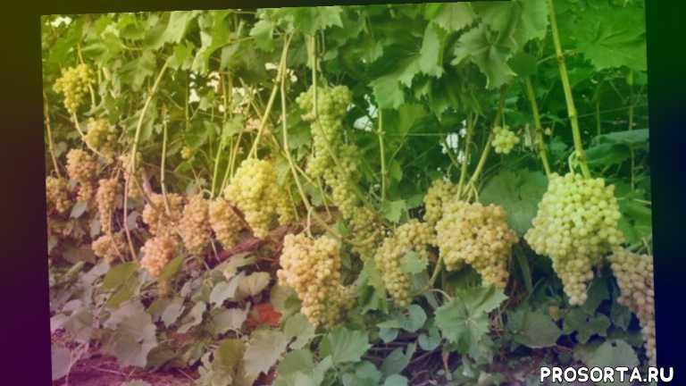 grape, лоза, недостатки сорта, особенности сорта, уход за виноградом, виноград кишмиш 342 описание сорта выращивание сорта характеристика сорта