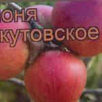 Яблоня обыкновенная Беркутовское (malus) ? обзор: как сажать, саженцы яблони Беркутовское