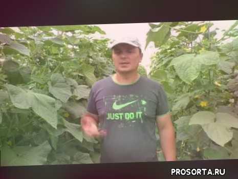 как вырастить огурцы, сад огород своими руками, выращивание, арктика, огурцы