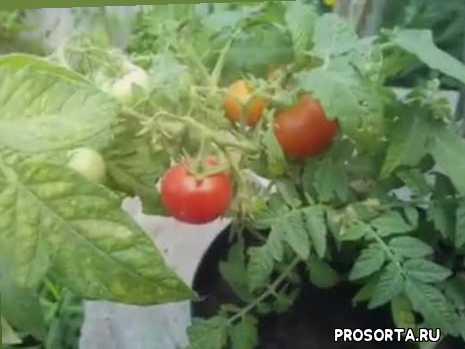 помідори, помідор, кімнатні помідори, кімнатий томат, кімнатний помідор, помідор на підвіконні, для детей, балконный помидор