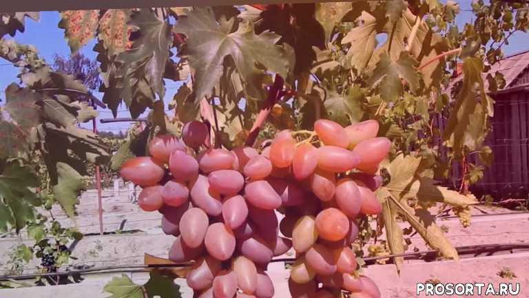 попченко виноград, белоруский виноград, северный виноград, беларусь, купить виноград, тимур розовый, сорт винограда
