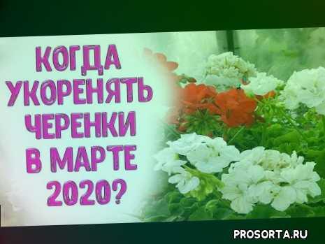 рассада, черенки винограда, укоренение черенков, черенки, размножение садовых растений черенками, размножение комнатных цветов черенками, когда укоренять черенки в марте 2020, когда нарезать черенки в марте 2020