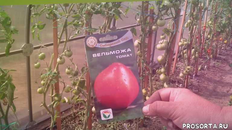 томат, теплица, гибрид, сорт, семена, семена сорт