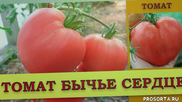 какой сорт томата, какой сорт, лучший сорт томата, бычье сердце в открытом грунте, бычье сердце в теплице, выращивание помидоров, чем подкормить помидор, томаты выращивание