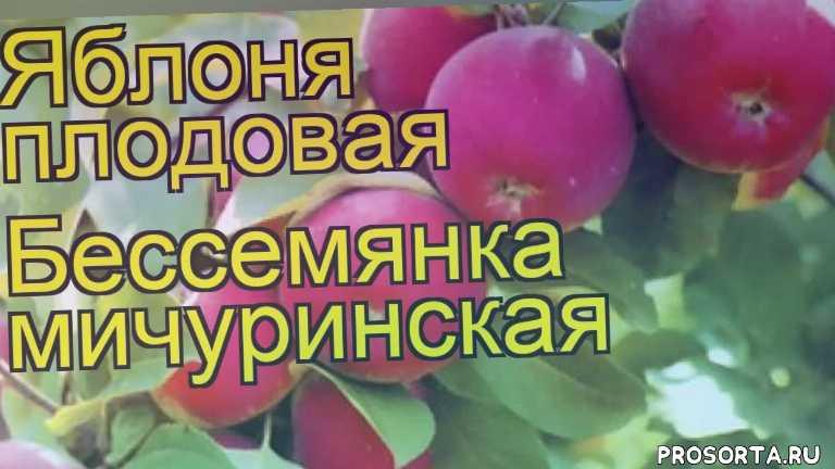 купить саженцы крупномеры яблони бессемянка мичуринская, саженцы крупномеры яблоню плодовую бессемянка мичуринская, видео яблоня плодовая бессемянка мичуринская, яблоня плодовая бессемянка мичуринская описание характеристик, краткий обзор яблоня плодовая бессемянка мичуринская, malus domestica bessemianka michurinskaia, malus domestica, яблоня плодовая бессемянка мичуринская описание