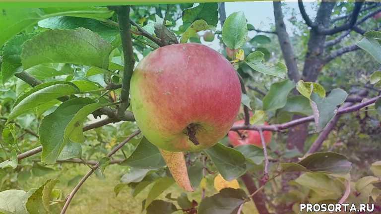яблоня позднее созревания, яблоня зимняя, богатырь яблоня, яблоня богатырь