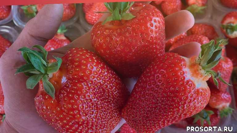 борная кислота, бор, как, strawberry, кабрило, мальга, плёнка для клубники, балаган