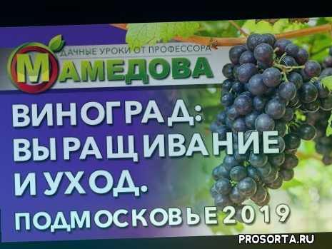 сорт винограда, выращивание винограда в подмосковье, подмосковье 2019, урожай в подмосковье, виноград обрезка осенью, виноград в теплице, як щепити виноград, виноград уход