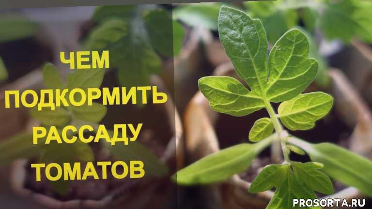 чем подкормить домашнюю рассаду помидор
