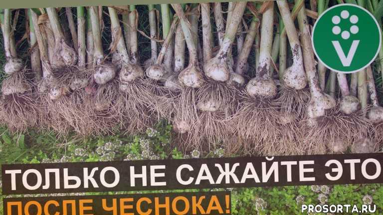 что посеять в августе, уборка чеснока с грядки, грядка после чеснока, что посадить в августе, огород, уборка чеснока, выращивание чеснока, что посадить после уборки чеснока