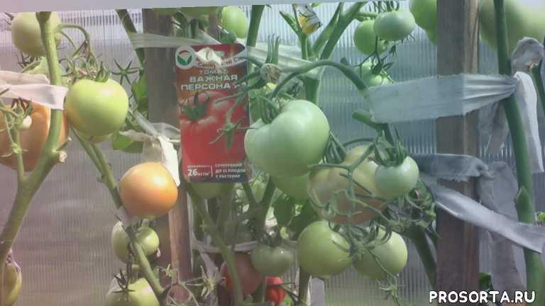 август, важная персона, томаты в сибири, центральная сибирь, сорт важная персона, красноярск, новые сорта томатов, новые сорта помидор