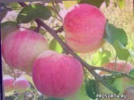 сорта яблонь, яблони, яблоня