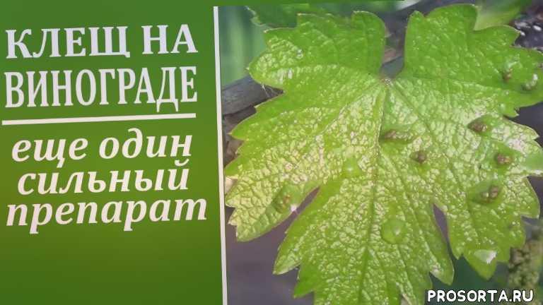 препараты, любимая усадьба, вертимек, от клеща, чем обработать виноград весной, чем опрыскать виноград от клеща, методы борьбы, виноград клещ