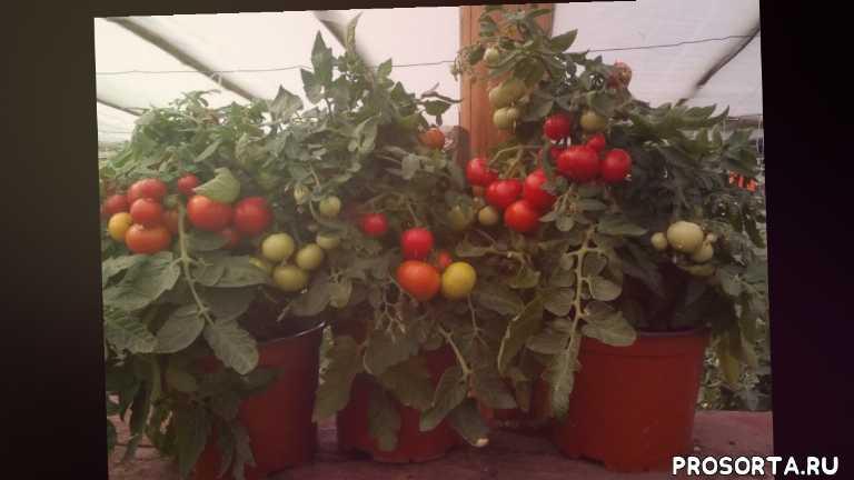 как вырастить помидоры на подоконнике, выращивание помидоров на подоконнике, выращивание томатов на подоконнике, томаты, помидоры