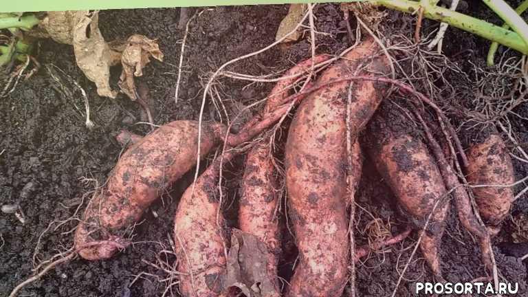 Батат - первый опыт выращивания.