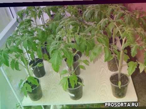 рассада томатов, рассада помидоров