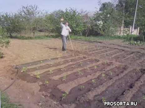 урожайный, полив огурцов, полив томатов, капельное орошение, вода, капельный полив огорода, капельный полив на даче, во саду ли в огороде