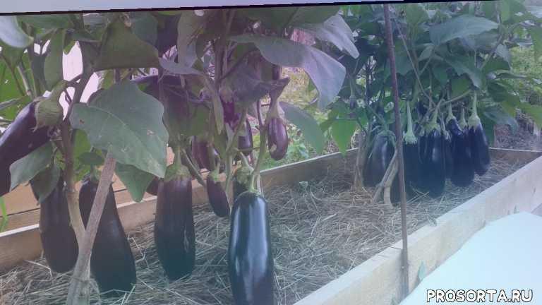 выращивание перцев, выращивание баклажанов