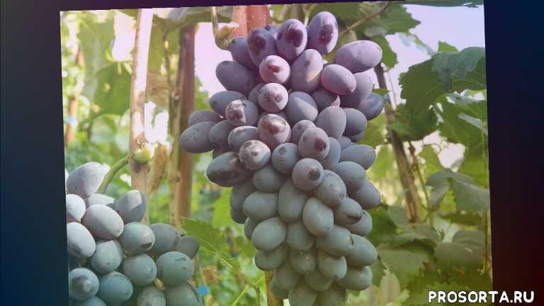 купить саженцы винограда декабрьский в контейнерах, черенки винограда декабрьский купить, саженцы винограда декабрьский, купить саженцы винограда декабрьский, виноград декабрьский