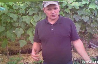 выращивание овощей в теплице, теплица, выращивание томатов, выращивание помидоров, выращивание огурцов, огурцы