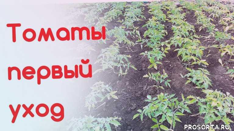 первая подкормка томатов, подкормка томатов, выращивание томатов, уход за помидорами, как вырастить томаты, уход за томатами, помидоры, ваша дача