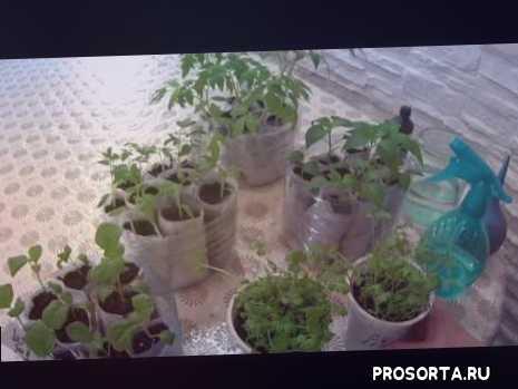 применение перекиси, перекись водорода для растений, зелень, цветы, баклажан, перец, томаты, как вырастить рассаду