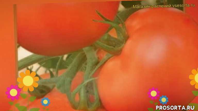томат астраханский какие растения сажают рядом, томат астраханский посадка и уход, томат астраханский уход, томат астраханский посадка, томат астраханский отзывы, где купить семена томат астраханский, купить семена томата астраханский, семена томат астраханский