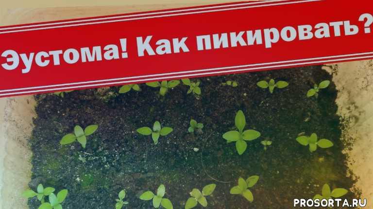 секреты выращивания лизиантуса, секреты выращивания эустомы, как вырастить лизиантус, как вырастить эустому, лизиантус, уход за эустомой, подкормка эустомы, подкормка
