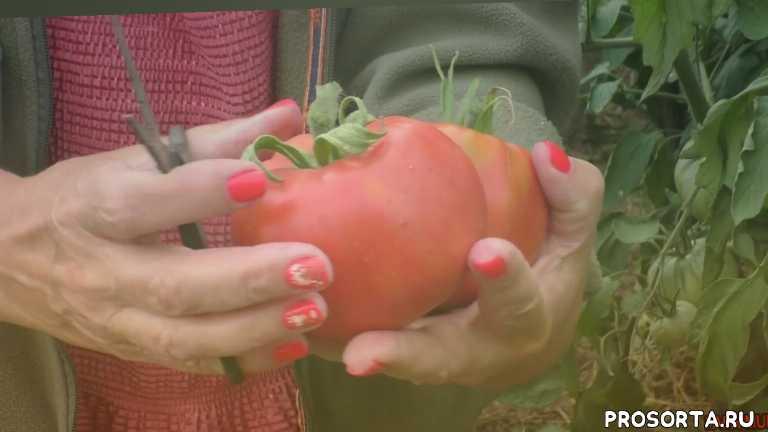 обзор томата бренди розовый. сорт., томат салатное чудо бренди розовый, очень вкусный томат бренди розовый, томаты гиганты, супер томаты