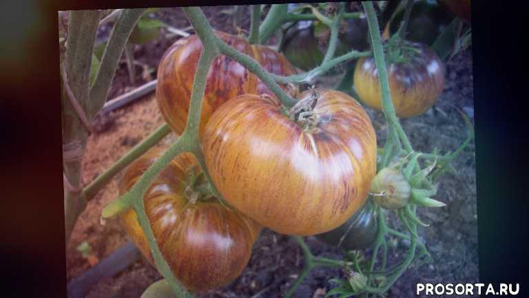 50 экзотических сортов томатов на одной грядке