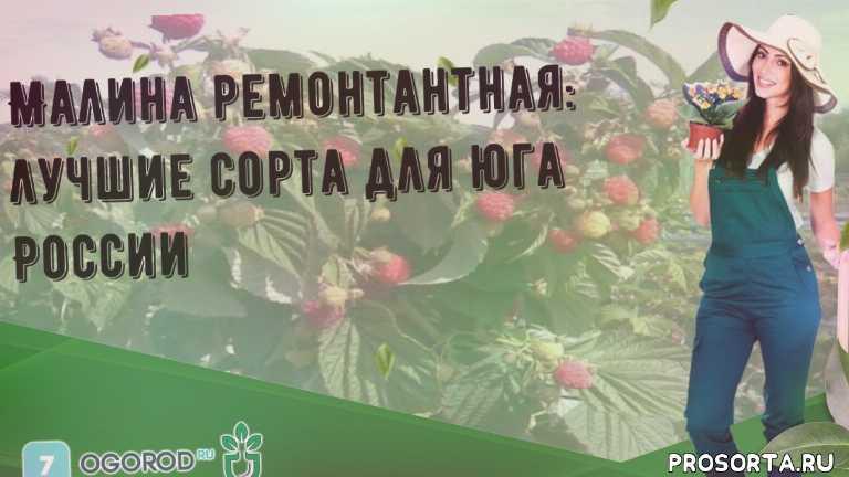 Малина ремонтантная: лучшие сорта для юга России