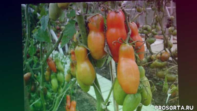 интернет магазин семенатоматов.рф, томат аурия, заказать семена томатов, купить семена томатов, семена томатов, томат