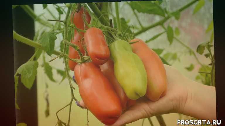 выбираем сорт томатов, технология выращивания томатов, как вырастить томаты, дважды отец димитрий, ассистент по растительному миру, лучший сорт помидор для теплицы, выращивание томатов в теплице, капельный полив