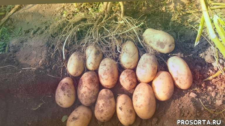 как выбрать картофель, как выращивать картофель, сергей козлов, какой картофель самый вкусный, вкусные сорта картофеля, сорта картофеля, урожайные сорта картофеля