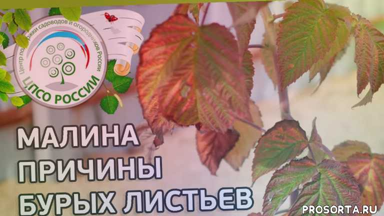почему листья малины, ремонтантная малина болезни, болезни малины видео, малина болезни и их лечение, айтжанова, листья малины, почему листья, бурые листья