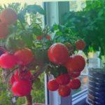 Томаты на балконе. Результат выращивания томата сорта Красная Шапочка на подоконнике.