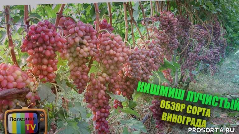 сорта винограда для новичков, саженцы винограда, виноградник, лучший сорт винограда, виноград видео, лучшие сорта винограда, виноград, сорт винограда