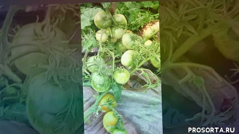 томаты отккрытого грунта