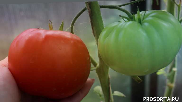 томат, сорт, фото, характеристика, отзывы, описание, плоский, плоскоокруглый