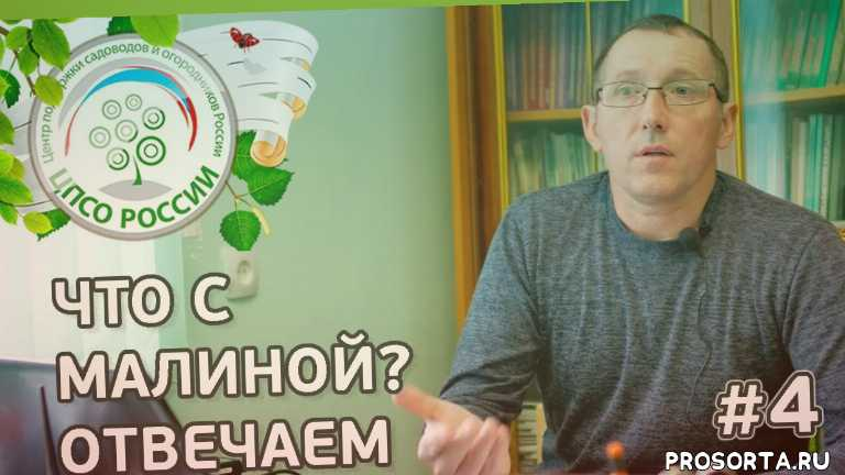 обрезка малины, обработка малины, подкормка малины, малина видео, малина выращивание, малина ремонтантная, как выращивать малину, урожайный огород