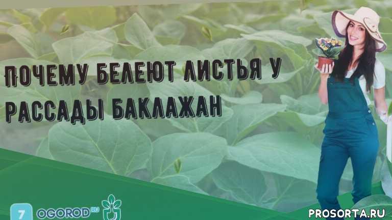 Почему белеют листья у рассады баклажан