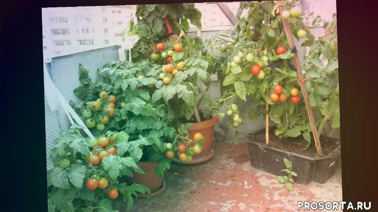 вырастить томат на подоконнике, помидоры на подоконнике зимой посев семян томата подкормки томата, балконное чудо, томат балконное чудо как выращивают томат
