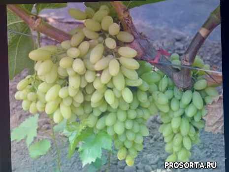 способы выращивания, характеристика сорта, виноград кишмиш столетие