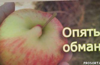 apple, сорта яблок, сорта яблонь, сад, зимний сорт яблок, сбор урожая яблок, урожай яблок осенью, яблоня в чашу