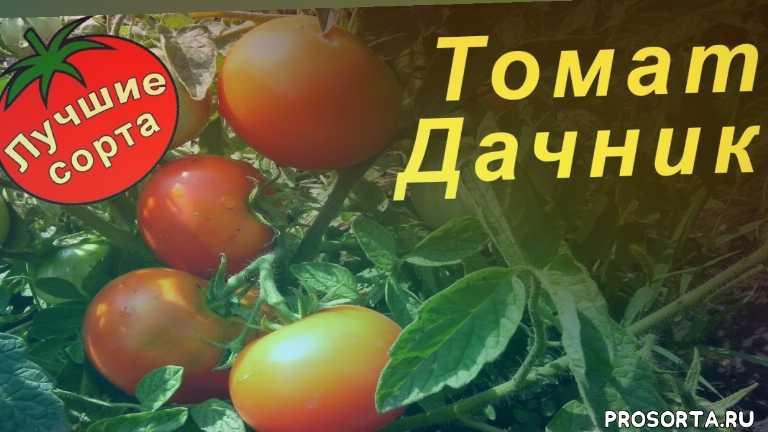 лучшие сорта томатов для открытого грунта, сорта томатов для открытого грунта, урожайные сорта томатов, семена томата дачник, урожайные томаты, самые урожайные томаты, штамбовые сорта томатов, сорта томатов