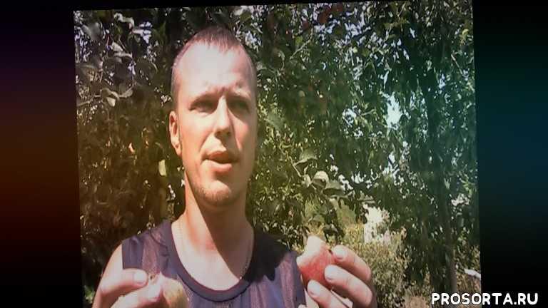 купить яблоню, сежанцы яблонь, папировка, белый налив, яблоня, http://sad-lopatina.org.ua, видео уроки, смородина