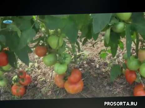 низкорослые помидоры, как вырастить помидоры, выращивание, помидоры, томаты