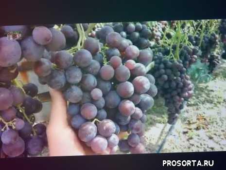 черенки винограда рошфор купить, виноград рошфор обрезка, описание сортов винограда, нормировка винограда побегами, зеленые операции на винограднике весной, формирование винограда, нормировка побегами, как правильно подвязывать виноград