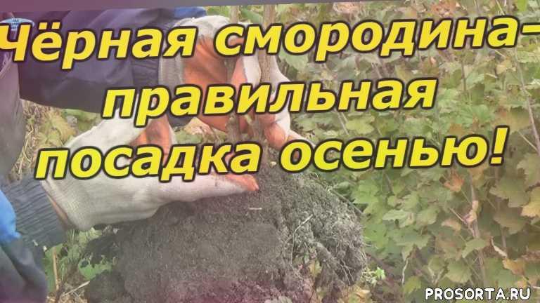 чёрная смородина, выращивание смородины, обрезка смородины, как посадить смородину осенью, посадка смородины, смородина