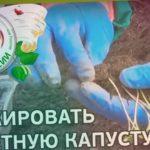 ? Как пикировать цветную капусту. Пикировка цветной капусты.